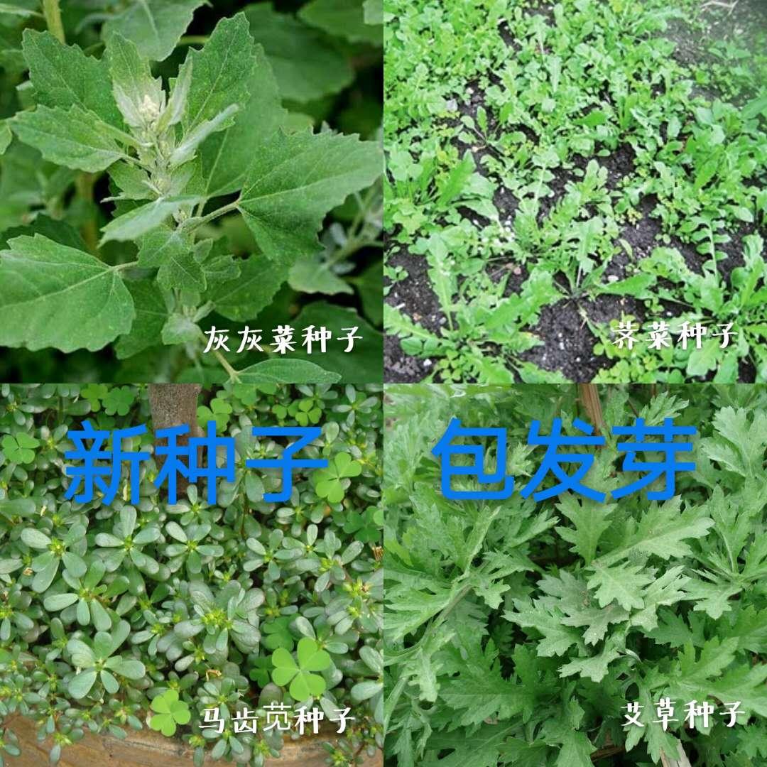 灰灰菜种子马齿苋种子荠菜种子艾草种子中国名菜野菜种子散装包邮