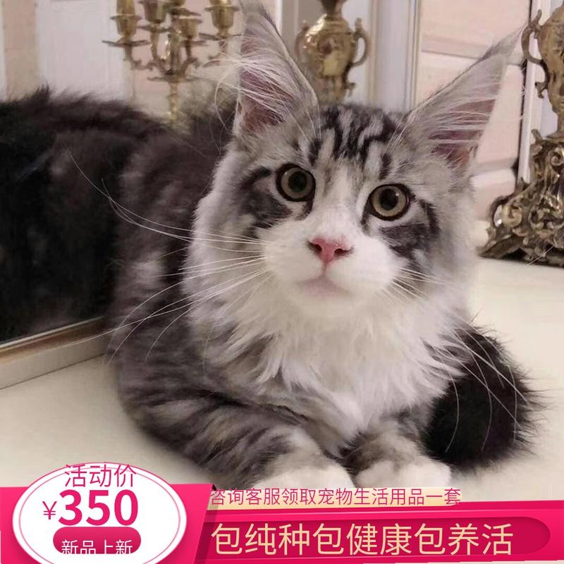 广州缅因猫幼猫宠物猫长毛猫巨型银虎斑森林猫俄罗斯纯种猫活体图片