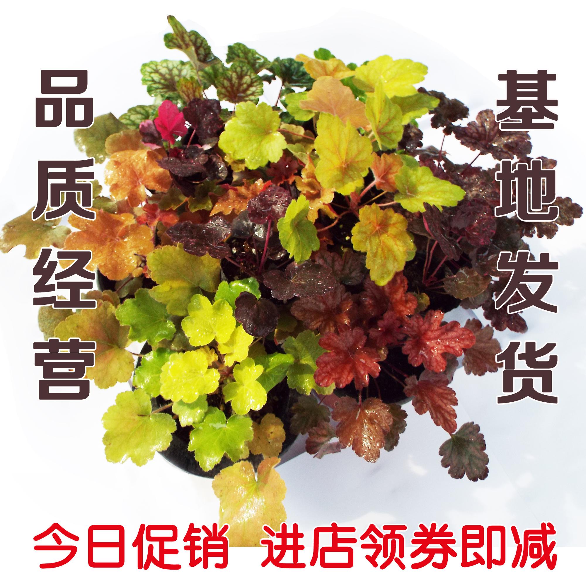 矾根|矾根绿植 四季彩叶 耐寒绿植  观叶植物 四季变色 32穴苗