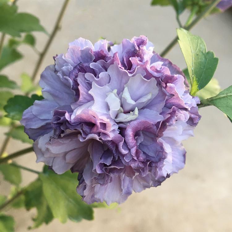 重瓣日本紫蓝色木槿花苗蓝莓冰沙当年开花庭院阳台花灌木蓝莓木槿