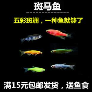 斑马鱼 小型鱼 热带鱼观赏鱼 易饲养小型鱼类 红绿灯孔雀鱼包邮