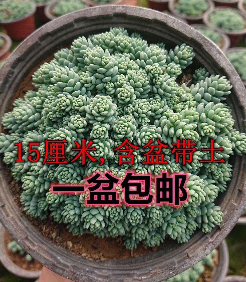 旋叶姬星美人 群生易爆盆超大多肉植物含盆带土组合防辐射盆栽