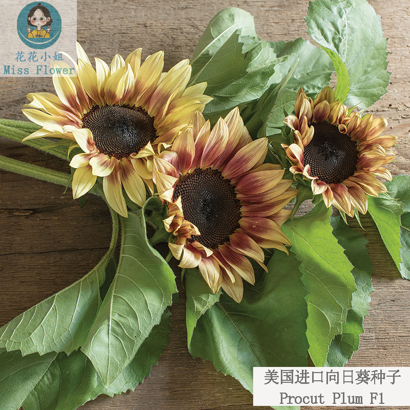 Imported prokut series sunflower seeds are easy to plant annual two color flowers