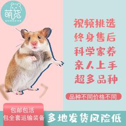 仓鼠活体活物带笼已打疫苗公仔宝宝大巨型金丝熊宠物包活自家繁殖