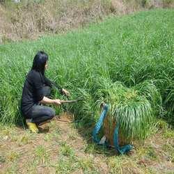 牧草种子四季种多年生黑麦草甜象草苏丹草鸡鸭鹅猪牛羊鱼草种籽子