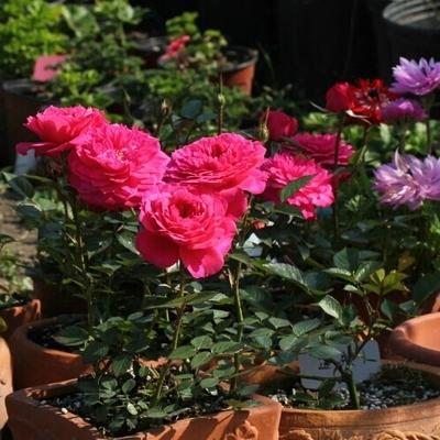 【可乐的花园】阳台花卉 微月 榴花秋舞月季花苗 超级多花 强荐