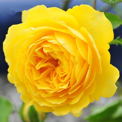 【可乐的花园】英国直立月季魔力光辉多季盆栽花卉灌木强香抗病