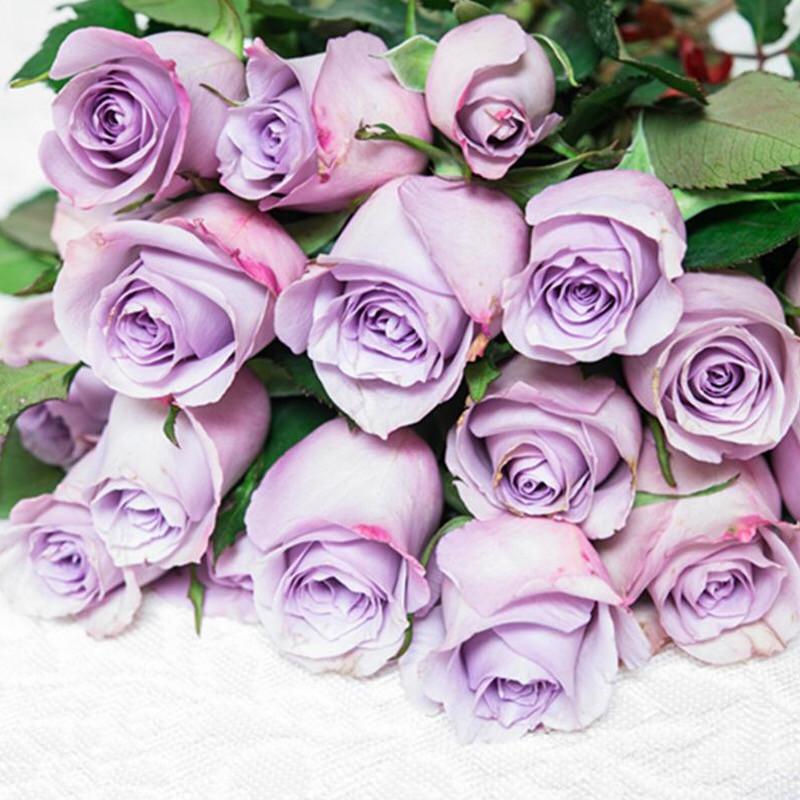 可乐的花园切花玫瑰 海洋之歌月季花苗 玫瑰盆栽花园植物四季开花