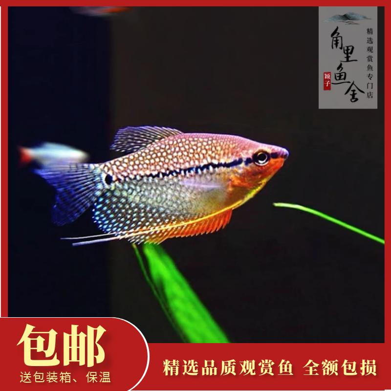 「角里鱼舍」珍珠马甲黄金热带鱼观赏鱼吃蛋白虫水族宠物鱼活体