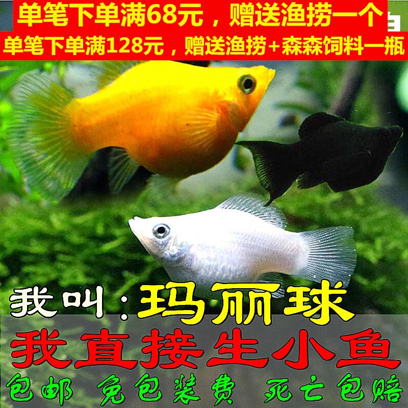 胎生鱼玛丽球孕母下崽狂魔米奇小型鱼观赏鱼活体包邮虎皮鱼皮球鱼