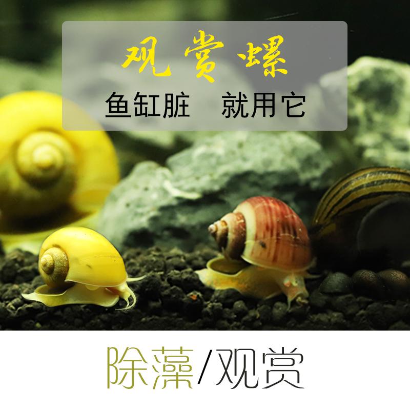 观赏螺活体除藻螺黄金螺大和藻虾淡水斑马螺蜜蜂角螺鱼缸除藻套餐