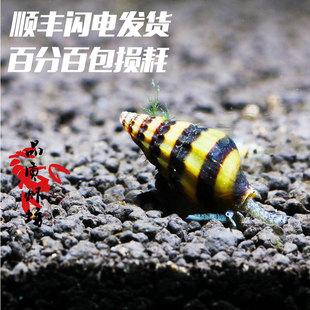 品质虾坊杀手螺活体大黄蜂观赏螺蜜蜂宝塔螺草缸除杂螺专吃蜗牛螺