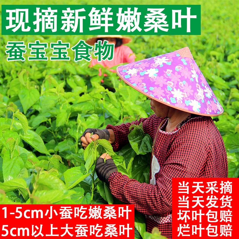 新鲜桑叶小蚕宝宝食物养蚕天然饲料农家自种新鲜现摘特嫩套装