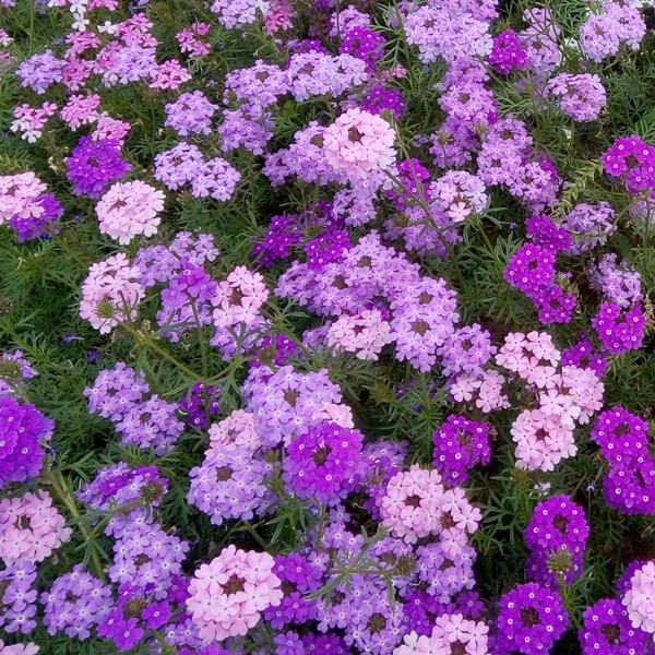 美女樱蔓生祥和盆栽苗  耐热花开不断  矮生马鞭草梦幻曲盆栽苗