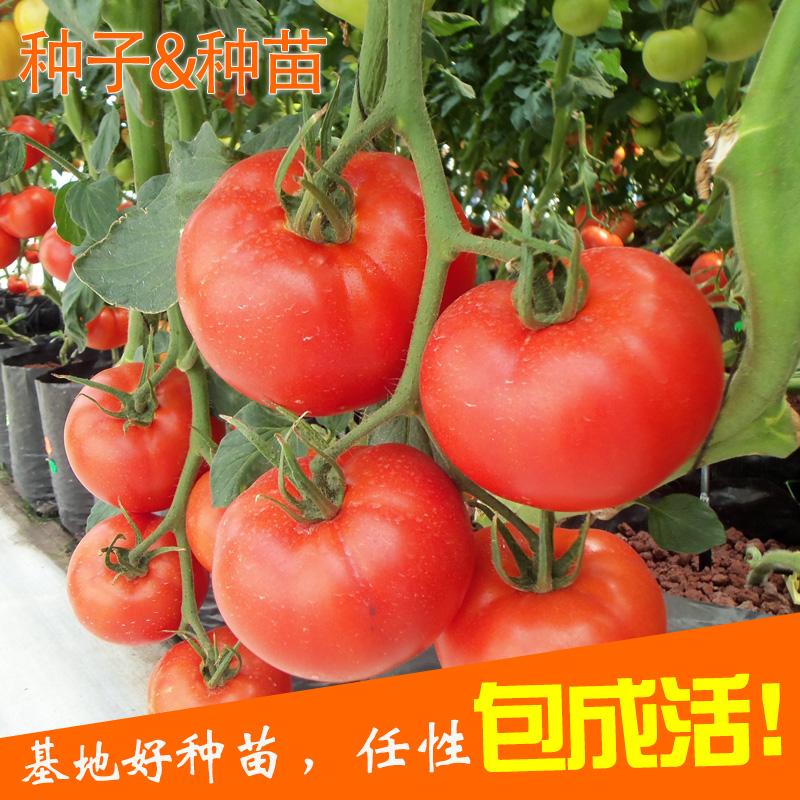番茄种子西红柿紫黑大小西红柿种苗阳台种植蔬菜苗黄色圣女果盆栽