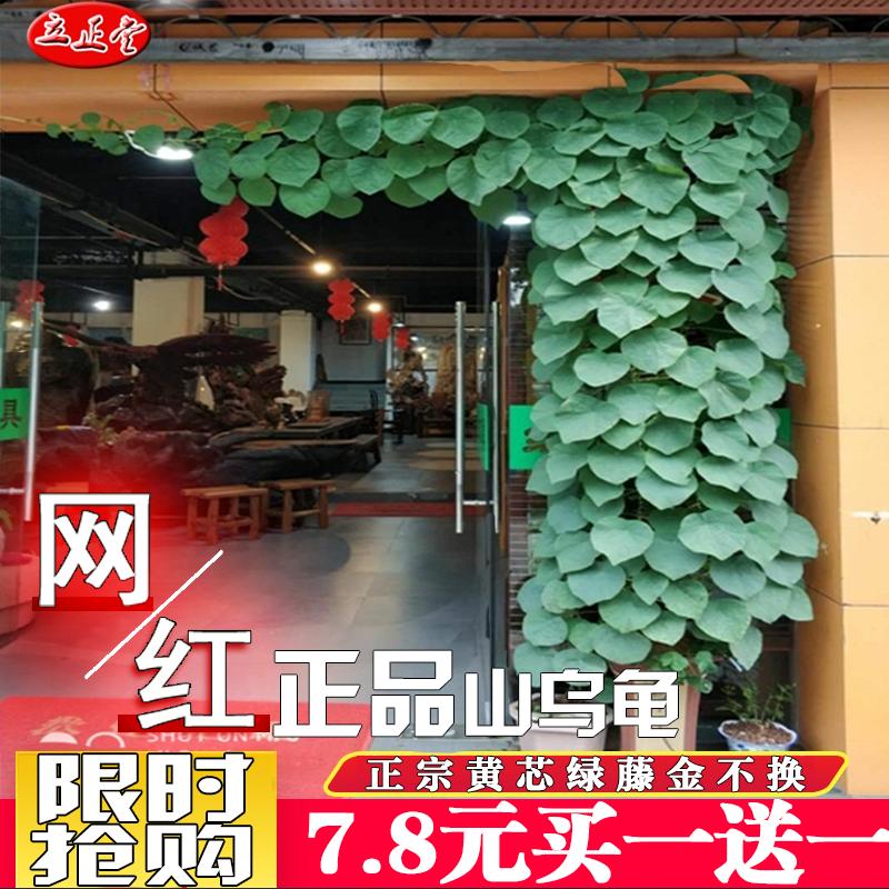 円葉山のカメの鉢植えの室内の花卉の金は緑を変えないで植えます。