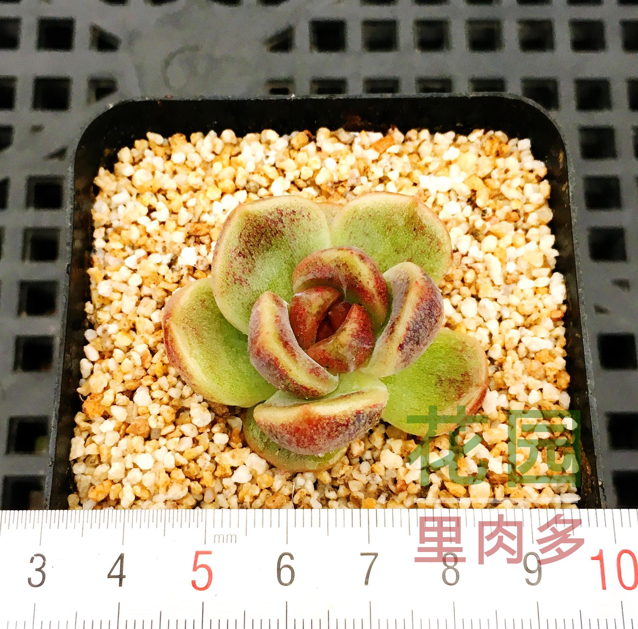 多肉植物 多肉 正版紫水晶 有根 新手 肉肉  室内 花 植物盆栽