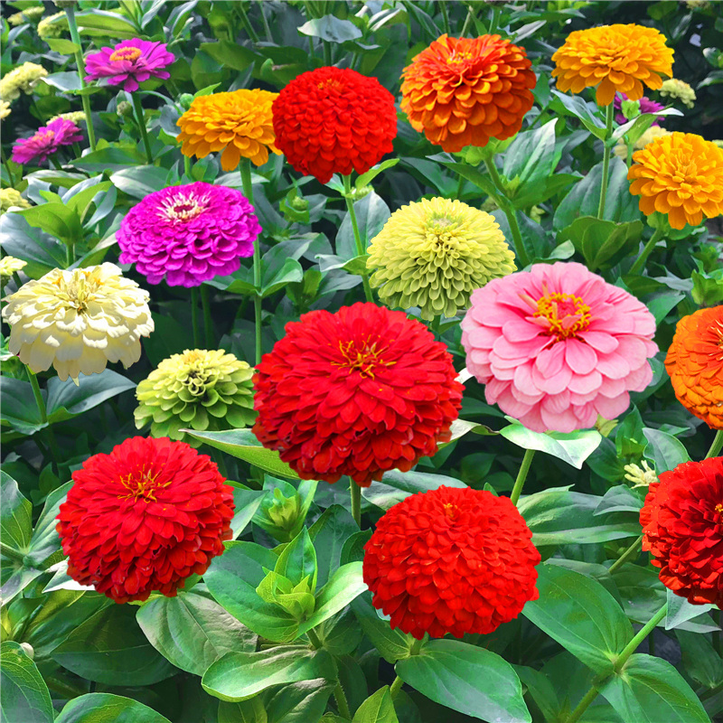 百日草花种子四季播种易活开花不断景观花海室外盆栽花卉种籽子