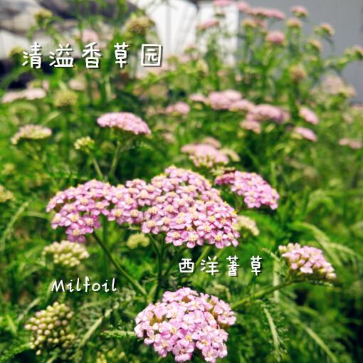 Yarrow herb green plant aromatherapy cuisine