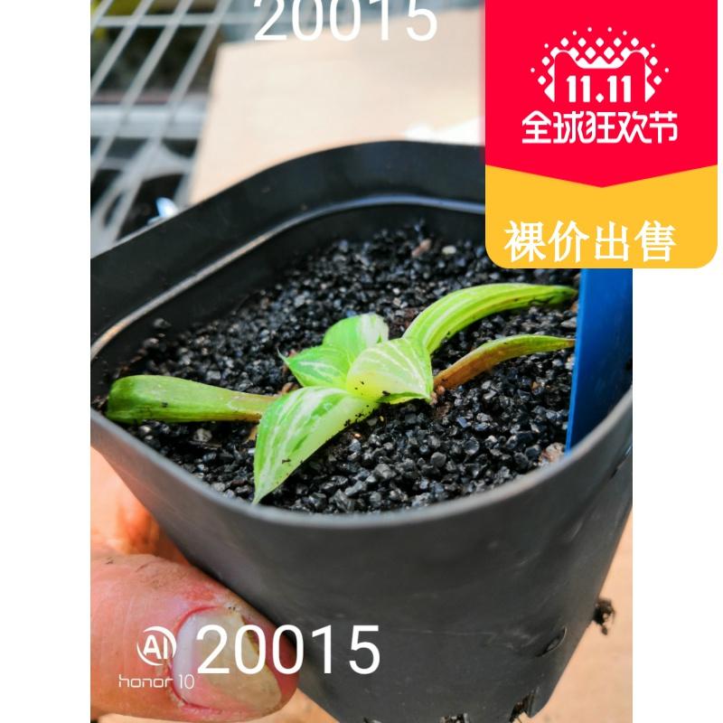 20015大久保寿明锦 极上斑 有根一物一拍十二卷多肉植物保证品种