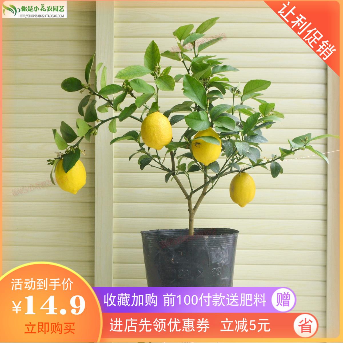 柠檬树果树苗香水柠檬绿植盆栽植物四季开花结果尤力克柠檬果树苗
