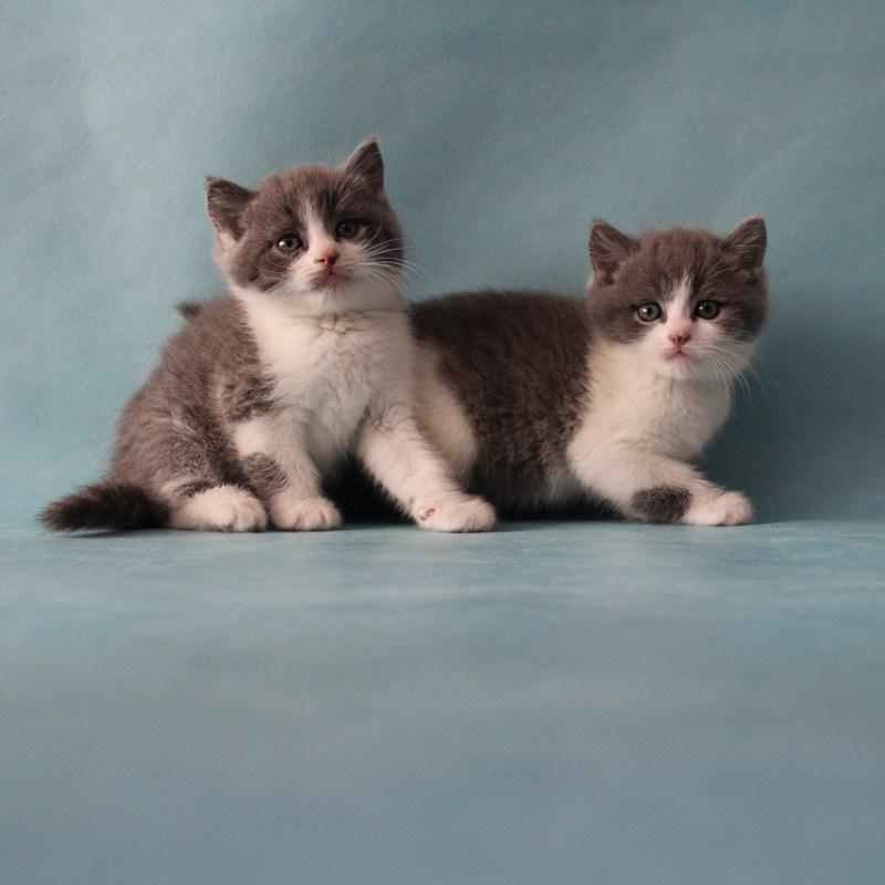 南京唐钰纯猫店-宠物猫-布偶猫-矮脚猫-蓝白英短猫-可爱的猫