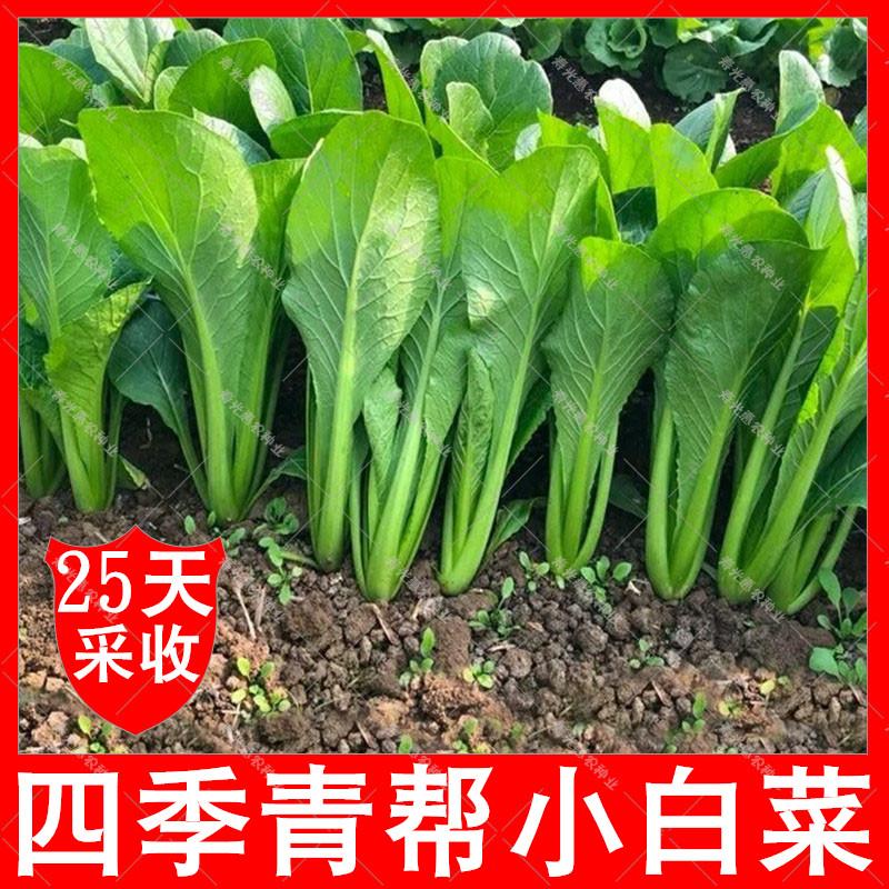 限7000张券白菜种籽秋季蔬菜种四季青帮小白菜