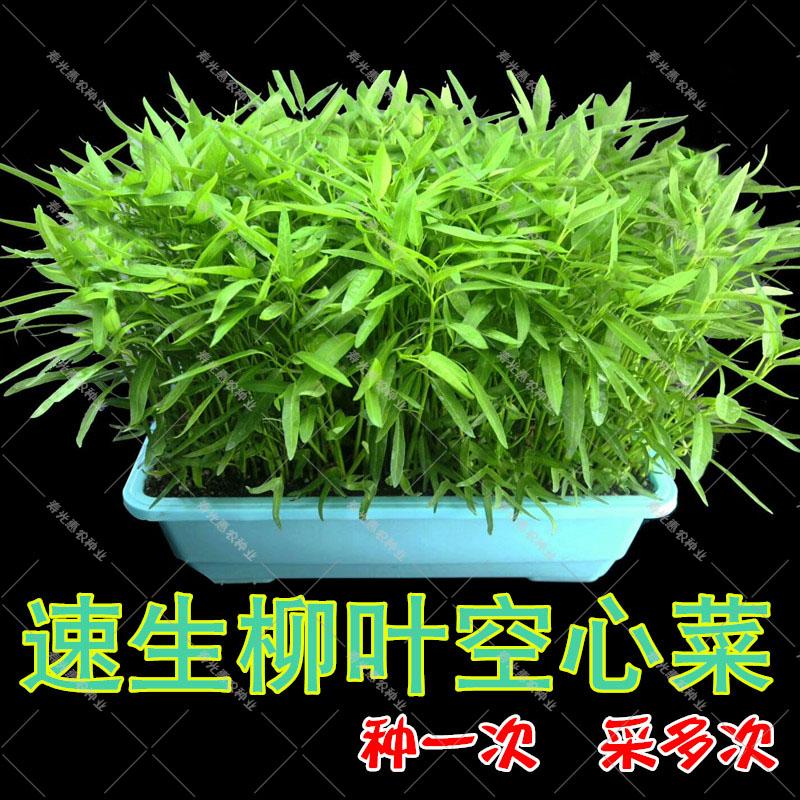 买三送一柳叶空心菜种子四季阳台盆栽蔬菜籽种水培通心菜青菜空心菜种籽