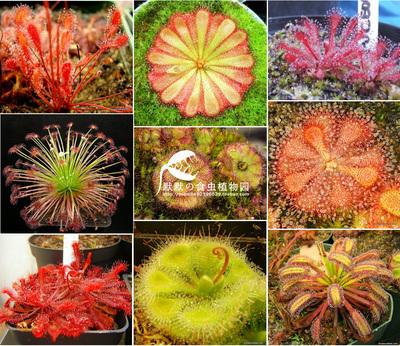 食虫植物-各种茅膏菜 【食虫草 捕虫 绿植 盆栽】食人花萌物