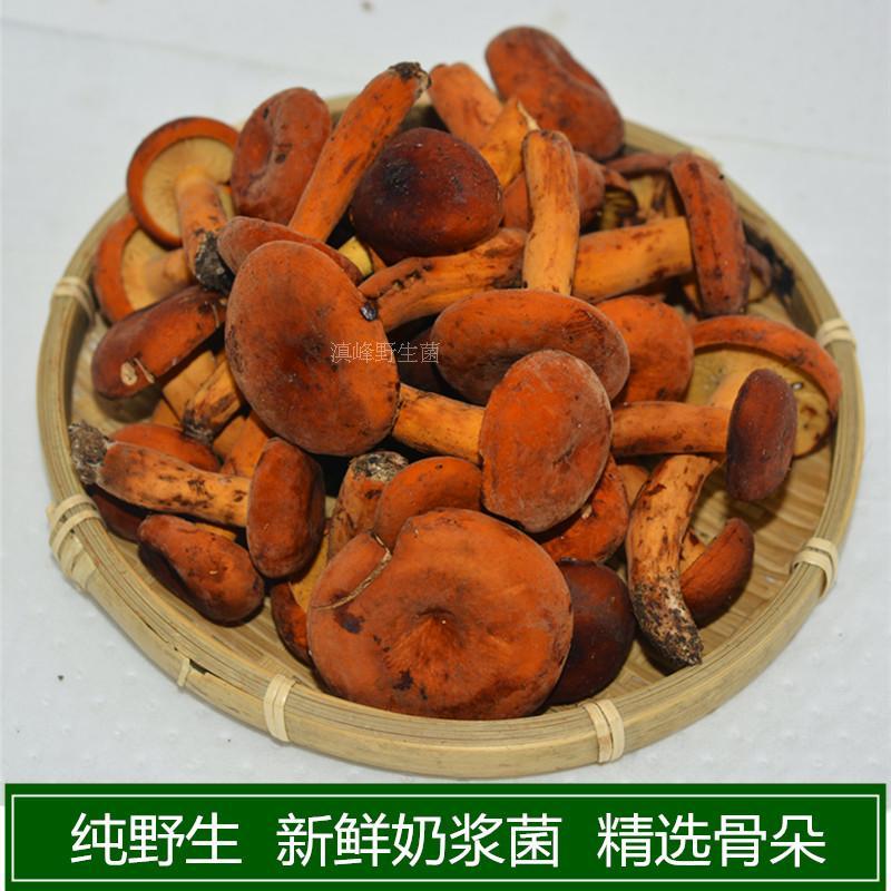 新鲜野生奶浆菌特级松乳蘑菇云南大理特产一斤包邮味道香浓适合炒