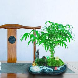 罗汉竹佛肚竹盆景竹子佛竹竹苗花卉盆栽室内花好养观赏竹四季常青