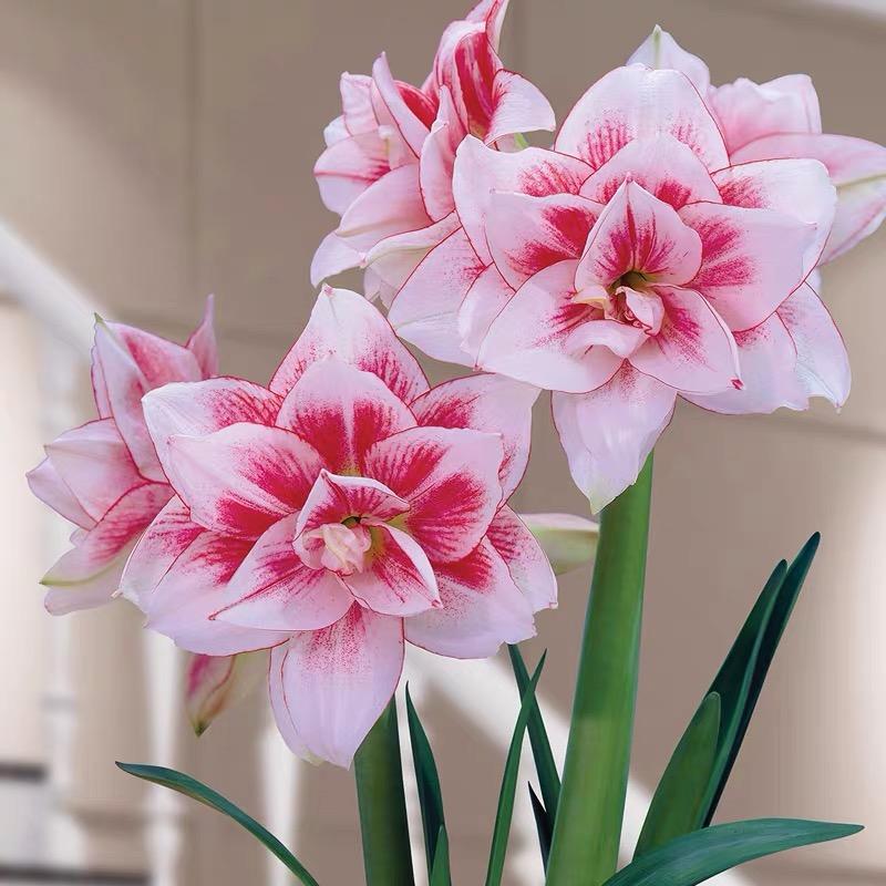 Цветочные луковицы Артикул 618620421557