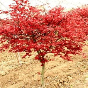 地栽日本红枫红舞姬四季红庭院美国红枫树红枫盆栽树苗四季中国红