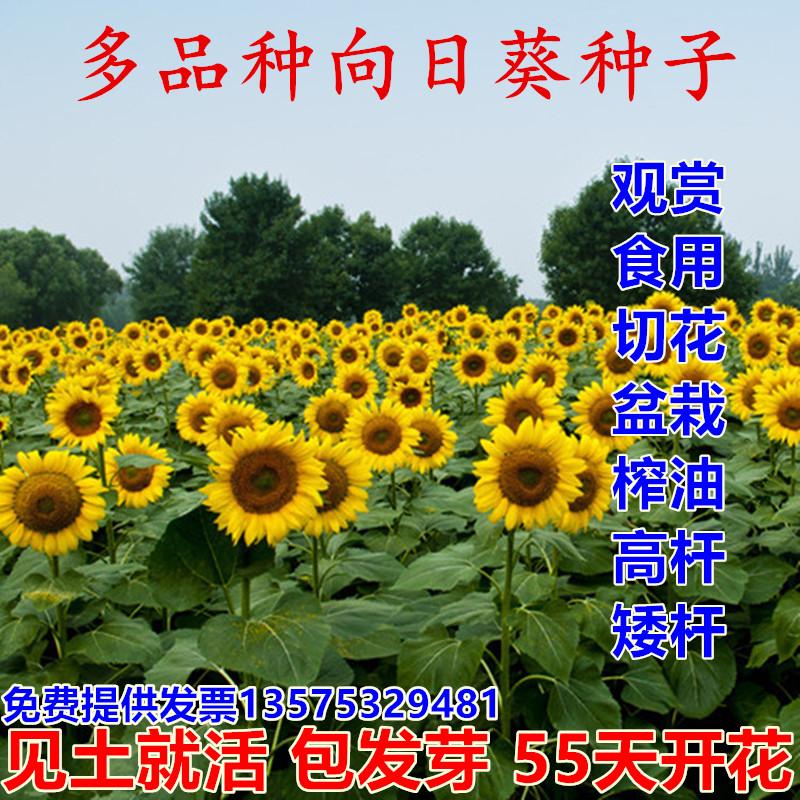 向日葵种子观赏食用切花向日葵花种籽葵花籽油葵矮杆室内外盆栽孑