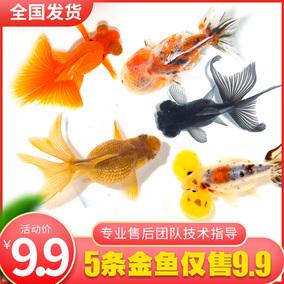 金鱼活体小金鱼金鱼苗淡水冷水鱼