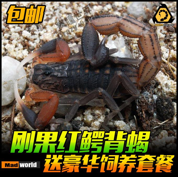 包邮刚果红鳄背蝎子单性繁殖蝎子活体宠物蝎红e背蝎新手入门级