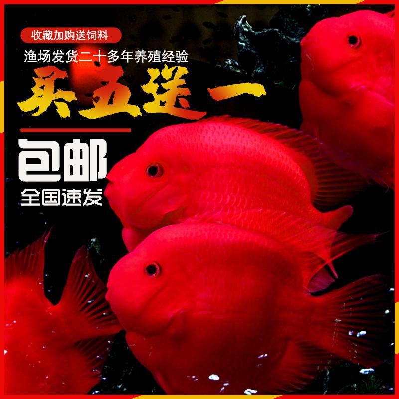 血鹦鹉活鱼发财鱼活体元宝财神招财鱼观赏鱼银龙鱼热带宠物观赏鱼
