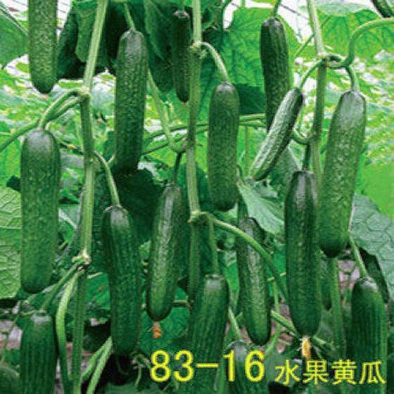 寿光蔬菜种子口感好高产无刺荷兰83-16水果黄瓜种子四季生吃春季