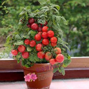 蔬菜瓜果种子 樱桃番茄种子 盆栽水果种子 圣女果 红珍珠番茄种子