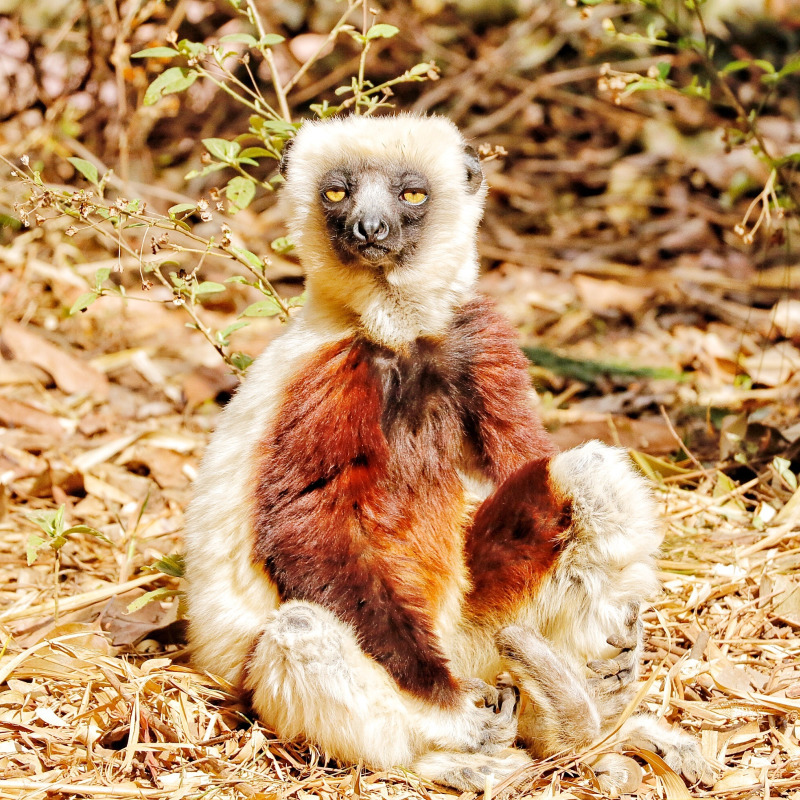 One day tour in Madagascar: the lemur Park in tananarif, a mix of vintage cars, crossing the old city