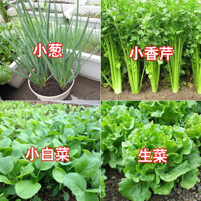 四季折々の野菜の種まきセット小葱セロリ小白菜とレタスと香菜のベランダ菜の種は春だけです。
