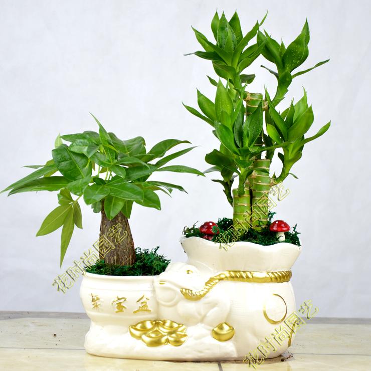 发财树盆栽富贵竹室内办公室小盆景花卉盆栽吸甲醛绿植物