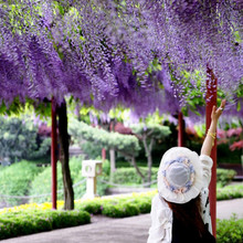 Climbing plants in Wisteria flower garden roof garden wall climbing plants in Wisteria flower garden