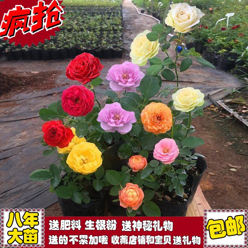 Роз рассада четыре сезона цветение большой цветок зеленый завод комнатные комнатный иностранных цветы часы цветок суд больница балкон роза китайская роза