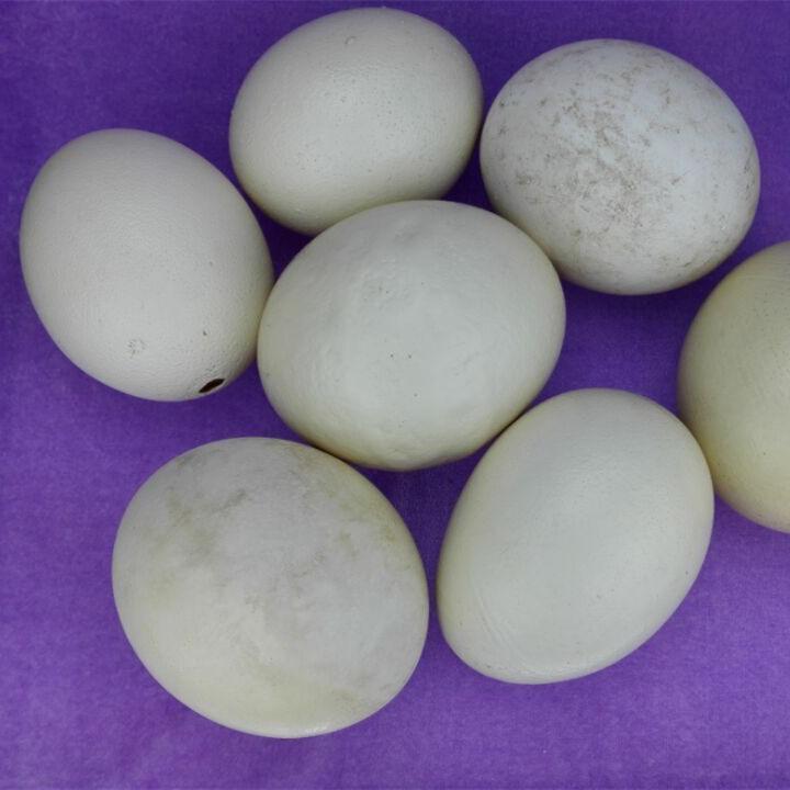 Неисправный Шапи мертвый эмбрион Желтый страус Яйцо Яйцо Устрица Яйца Создание личности для