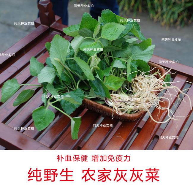 农家灰灰菜种子问天种业自产  野菜种子补血补钙   蔬菜种子