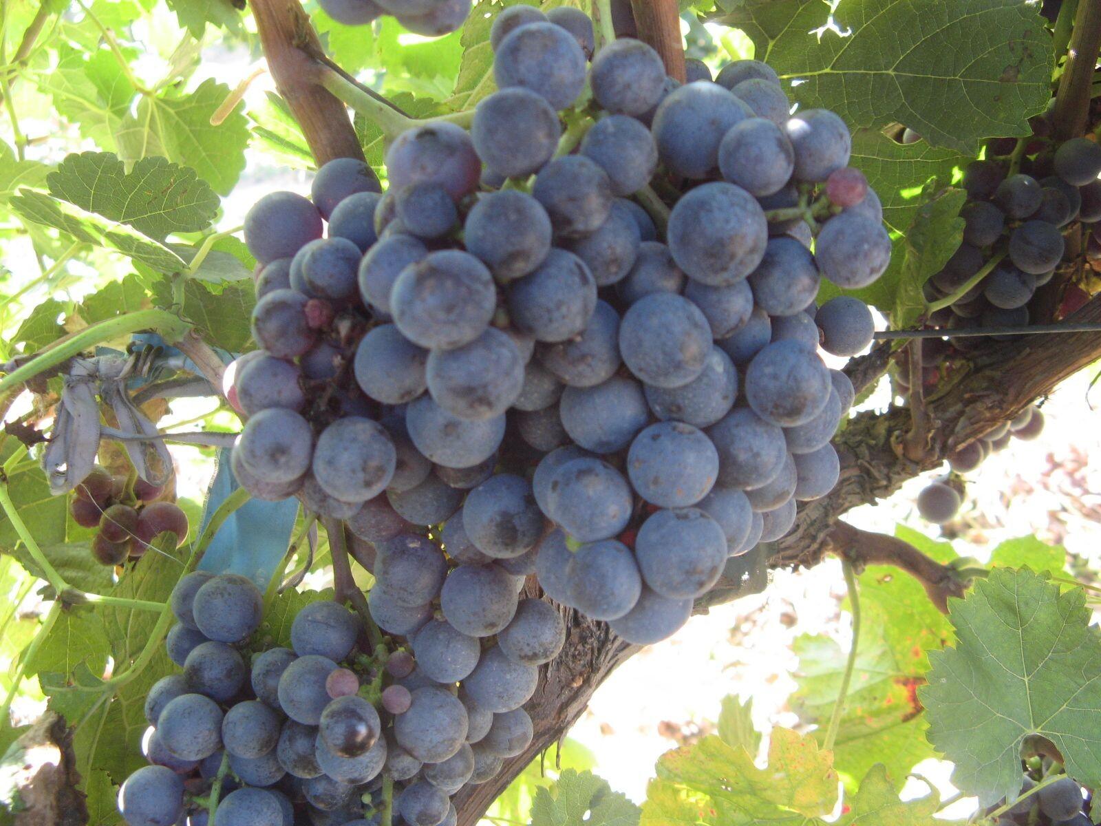 德米怀来特产 沙城 张家口赤霞珠葡萄 酿酒葡萄 造酒葡萄 老藤