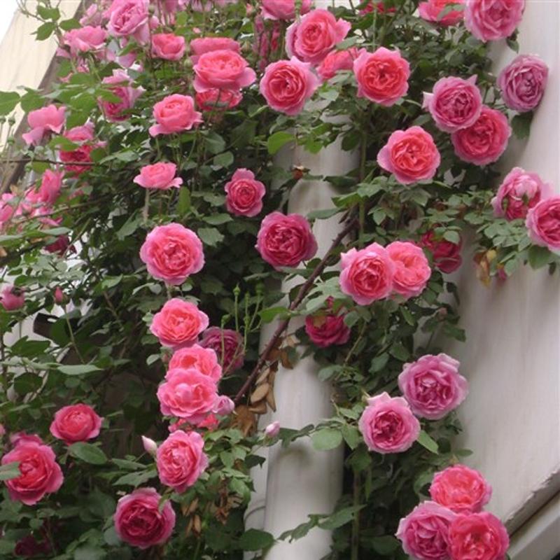 藤本月季欧月玫瑰爬藤蔷薇花苗植物花卉多季开花盆栽耐寒耐热花卉