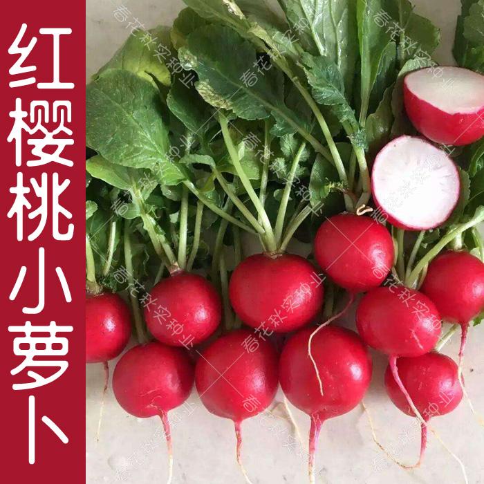 早熟水果樱桃小萝卜种子 春夏秋四季播蔬菜籽 阳台盆栽大田易种孑