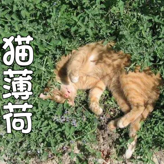 猫薄荷种子 春夏秋四季播芳香种子 阳台盆栽庭院易种猫薄荷草种子